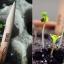 ดินสอปลูกต้นไม้ sprout pencil thumbnail 11