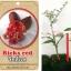<<<<สั่งซื้อ>>>ต้นมะนาวคาเวียร์เสียบยอดสายพันธุ์ Rick Red size S thumbnail 1
