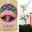 <<<<สั่งซื้อ>>>ต้นมะนาวคาเวียร์เสียบยอดสายพันธุ์ Purple Bliss size S thumbnail 1