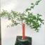 ต้นมะนาวคาเวียร์เสียบยอดสายพันธุ์ Pink Ice Size M thumbnail 2