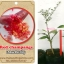 <<<<สั่งซื้อ>>>>ต้นมะนาวคาเวียร์เสียบยอดสายพันธุ์ red champagne size S thumbnail 1