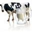 แก้วเต้านมวัว <พร้อมส่ง> thumbnail 4