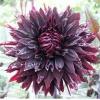 ดอกรักเร่สีดำแดง / 10 เมล็ด
