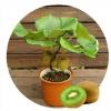 กีวี สีเขียว Green Kiwi / 10 เมล็ด