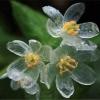 ดอก Diphylleia Grayi / 5 เมล็ด