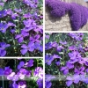ดอก Aubrieta Seeds / 20 เมล็ด