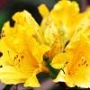 กุหลาบพันปี Azalea Seeds สีเหลือง /10 เมล็ด