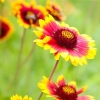 ดอก Gaillardia Pulchella Perennial / 20 เมล็ด