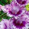 ดอก Striped Gladiolus Seeds / 10 เมล็ด