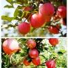 แอปเปิ้ล Apple Seeds /5 เมล็ด