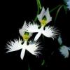 ดอกนกกระสา Japanese Radiata Seeds / 10 เมล็ด