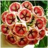 ดอก Hoya Carnosa Flower Seed / 10 เมล็ด