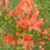 ดอก Standing Cypress / 10 เมล็ด