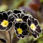ดอก Primula Malacoides (ดำ) / 20 เมล็ด