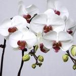 ดอก White Phalaenopsis Seeds / 10 เมล็ด