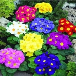 ดอก Primula Malacoides (คละสี) / 20 เมล็ด