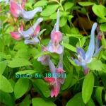 ดอก Swan Flowers seeds / 10 เมล็ด