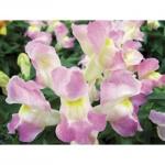 Antirrhinum Floral Showers Lavender Bicolor ลิ้นมังกร ฟลอรอล ชาวเวอร์ ลาเวนเดอร์ ไบคัลเลอร์ / 50 เมล็ด