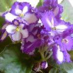 ดอก Saintpaulia Seed / 30 เมล็ด