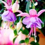 ดอก Fuchsia flower seeds (ม่วง-ขาว) / 20 เมล็ด