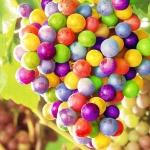 องุ่นสีรุ้ง Rainbow Grape / 10 เมล็ด