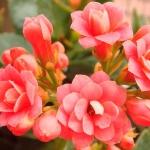 ดอก Longevity (แดง) / 20 เมล็ด