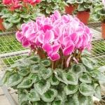 ดอก Cyclamen Seeds / 10 เมล็ด