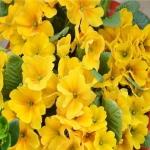 ดอก Primula Malacoides (เหลือง) / 20 เมล็ด