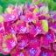 ไฮเดรนเยีย Hydrangea macrophylla / 10 เมล็ด thumbnail 2