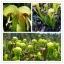 ดอก CARNIVOROUS COBRA LILY / 5 เมล็ด thumbnail 1