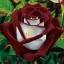 กุหลาบ Fire And Ice Rose / 5 เมล็ด thumbnail 1