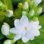 ดอกมะลิ / 10 เมล็ด thumbnail 1