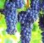 องุ่นดำต้นสูง Black Grape Seeds / 10 เมล็ด thumbnail 2
