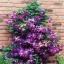ดอก Clematis Purple Seeds (ม่วง) / 20 เมล็ด thumbnail 1