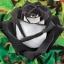กุหลาบขาวดำ White Black Edge Rose / 5 เมล็ด thumbnail 1