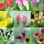 ดอก Calla Lily Mix (คละสี) / 10 เมล็ด thumbnail 1