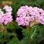 Achillea millefolium Yarrow Sneezewort Paprika mix Flower Bulk Seeds / 20 เมล็ด thumbnail 3