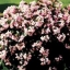 Begonia Angel Pink บีโกเนีย แองเจิ้ล พิงค์ / 50 เมล็ด thumbnail 1