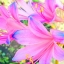ดอก Blue Pink Lycoris Seeds / 20 เมล็ด thumbnail 1
