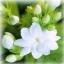 ดอกมะลิ / 10 เมล็ด thumbnail 3
