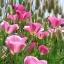 ดอก Poppy Seeds (ม่วง) / 50 เมล็ด thumbnail 1