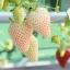 สตรอเบอรี่ขาว White strawberry /30 เมล็ด thumbnail 3