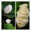 ดอกไอศกรีม Ice Cream Flowers seeds / 5 เมล็ด thumbnail 1