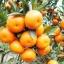เมล็ดส้ม Orange seeds / 5 เมล็ด thumbnail 1