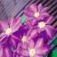 ดอก Clematis seeds Mix / 20 เมล็ด thumbnail 2
