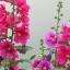 ดอกฮอลลี่ฮ็อค Hollyhock Flower / Mix / 20 เมล็ด thumbnail 1
