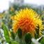 ดอกคำฝอย( Safflower) / 10 เมล็ด thumbnail 2