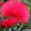 ดอก Albizia Julibrissin Tree (แดง) / 10 เมล็ด thumbnail 1
