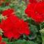 ดอก Geranium (แดง) / 20 เมล็ด thumbnail 2