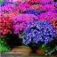 ดอก Cineraria (Mix) / 20 เมล็ด thumbnail 1